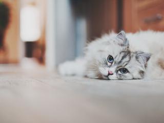 обои Серый пушистый кот лежит на полу фото