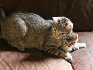 обои Кошка защищает своего котенка фото