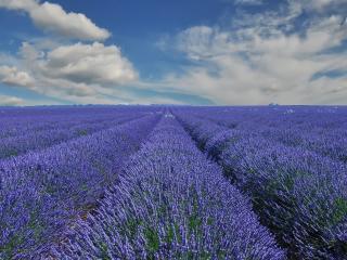 обои Большое поле синих цветов фото