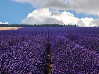 обои Огромное поле синих ухоженных цветов фото