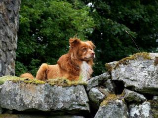обои Задумчивый пес на вершине скалы фото