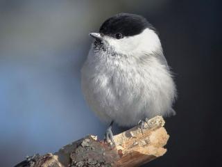 обои Маленькая птичка с чёрной головкой фото