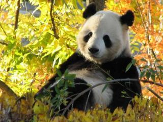 обои Панда в осеннем десу фото