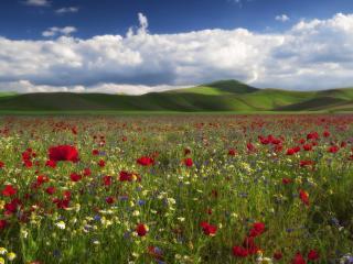 обои Огромное поле красных маков фото