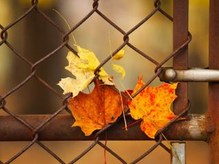 обои Осенние листья за решеткой фото