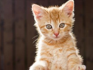 обои Рыжий котенок с любопытными глазами фото