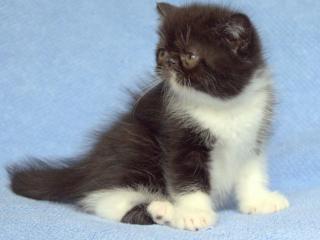 обои Котёнок с белой грудкой и белыми лапками фото