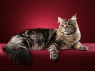 обои Важный кот на фотосессии фото