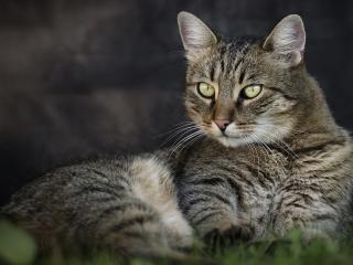 обои Серый спокойный кот фото