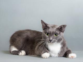 обои Серый кот с поломанным ухом фото