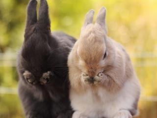обои Кролики умываются фото