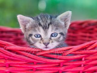 обои Голубоглазый маленький котенок в лукошке фото
