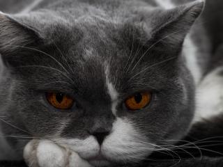 обои Свирепай кот с оранжевыми глазами фото