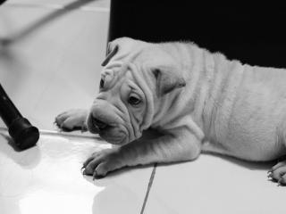 обои Грустный пес с морщинистым лицом фото