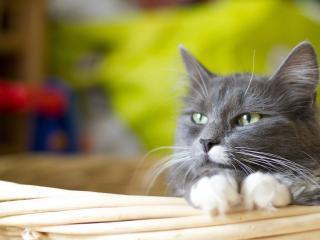 обои Серый котик с белыми лапками фото