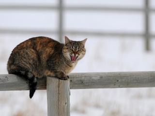 обои Шипящий кот на заборе фото