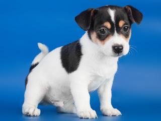 обои Любопытный щенок на голубом фоне фото