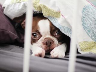 обои Мордочка щенка из под одеяла фото
