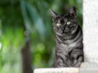 обои Серый кот смотрит вдаль фото