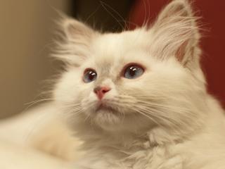 обои Светло-серая пушистая кошка фото