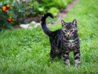 обои Полосатый кот на зеленой траве фото