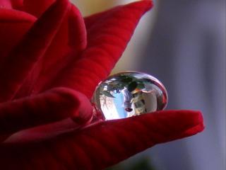 обои Капля на лепестке красной розы фото