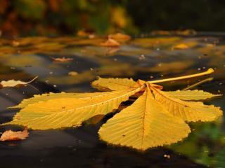 обои Каштана желтый лист фото