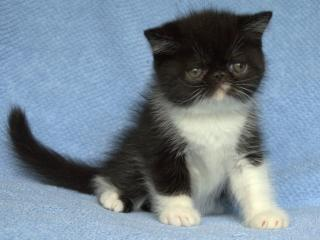 обои Чёрно-белый котёнок фото