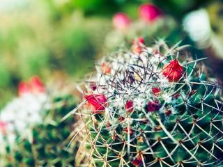 обои для рабочего стола: Цветы на кактусе
