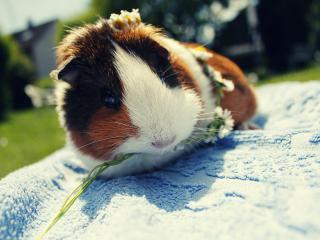 обои Морская свинка ест цветок фото