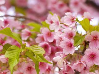 обои Соцветия и цветы на ветви фото