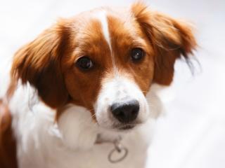 обои Грустный взгляд рыжего пса фото