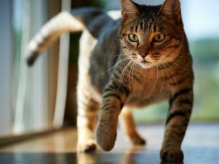 обои Кот приподнял лапу фото