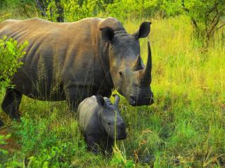 обои Носорог с детенышом фото