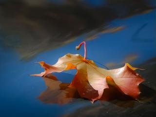 обои Кленовый лист осенний фото