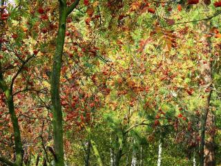 обои Осеннее рябиновое утро фото