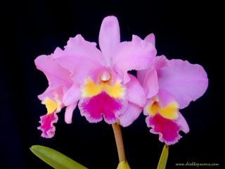 обои Орхидея фото