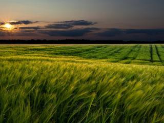 обои Зеленое поле на закате фото