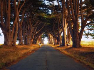обои Аллея под могучими деревьями фото