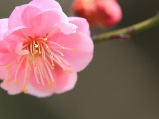обои Нежный розовый цветок на ветке фото