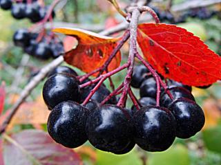 обои Рябинка черноплодная с красными листочками фото