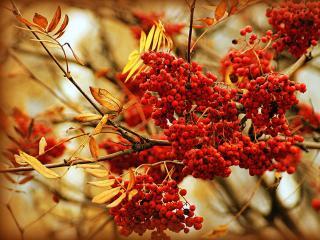обои Рябиновая осень фото