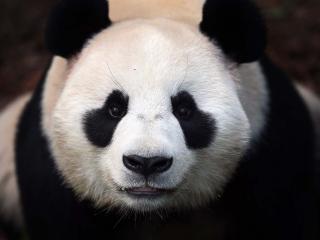 обои Морда панды фото
