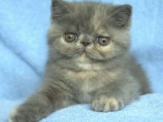 обои Очень серьёзный серый котёнок фото