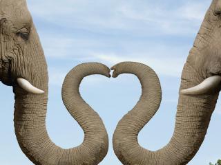 обои Слоны играют в любовь фото