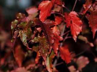 обои Красно-зелёные листья осенние фото