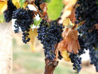 обои Последний виноград фото