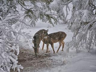 обои Олени в зимнем лесу фото