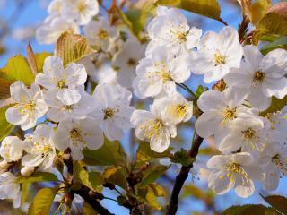 обои Нежно цветущее дерево фото