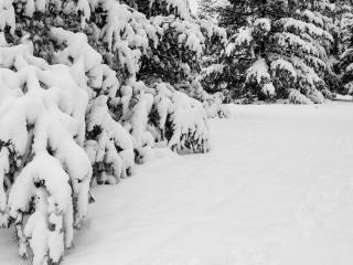 обои Зимние сосны занесенные снегом, в лесу фото